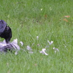 Raven eating pigeon