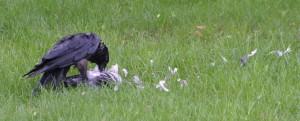 Raven eating pigeon