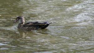 Wood Duck (Eclipse Male)