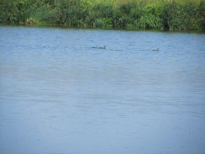 Eastern River Otters in the purest of the sewage lagoons