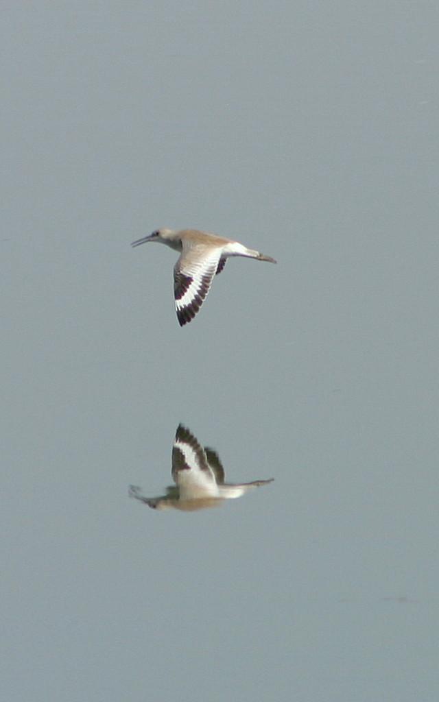 Willet in flight at Kitsim Reservoir near Brooks, AB