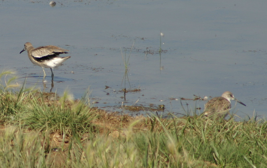 Willet at Lake Newell near Brooks, AB