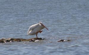 Dancing American White Pelican