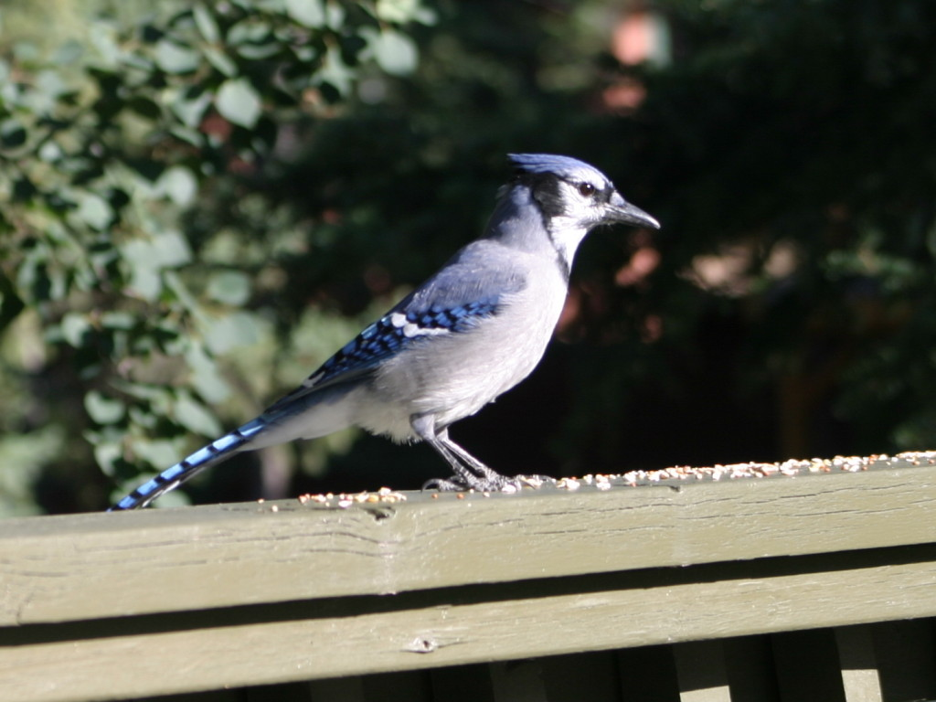Blue Jay with scattered seed