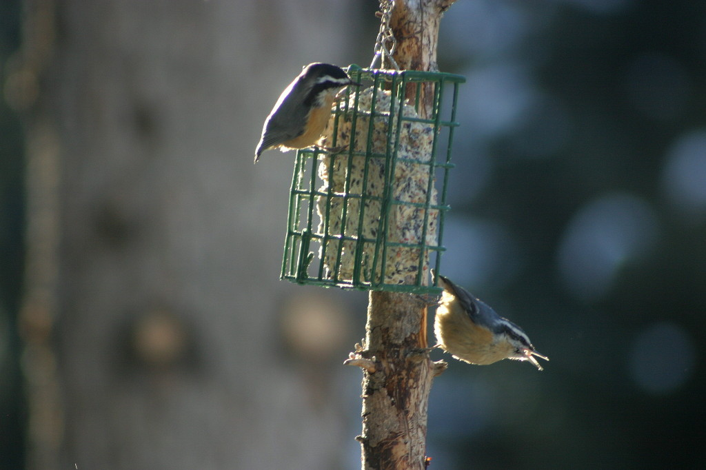 Red-breasted Nuthatches at suet feeder