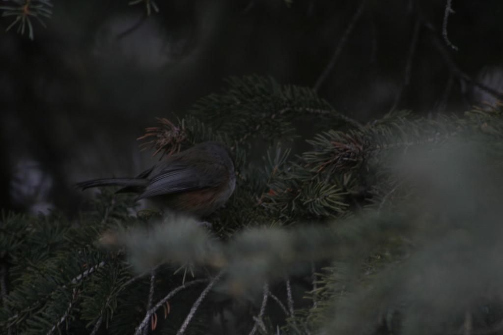 Boreal Chickadee