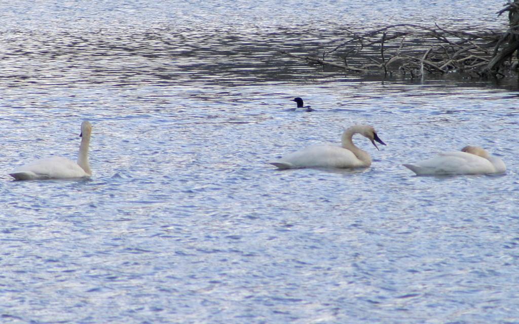 Trumpeter Swan, Common Merganser