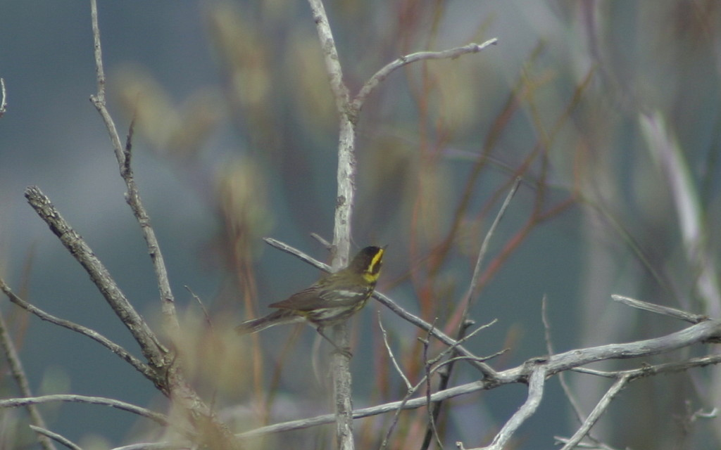 Townend's Warbler