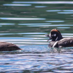 Harlequin Ducks