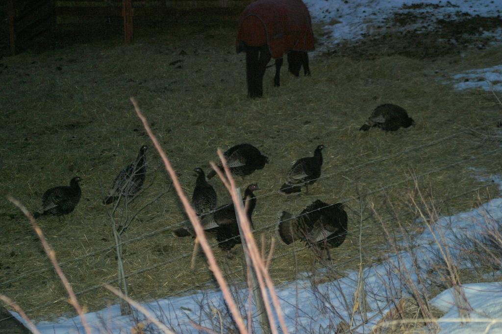 There were 14 Wild Turkeys.