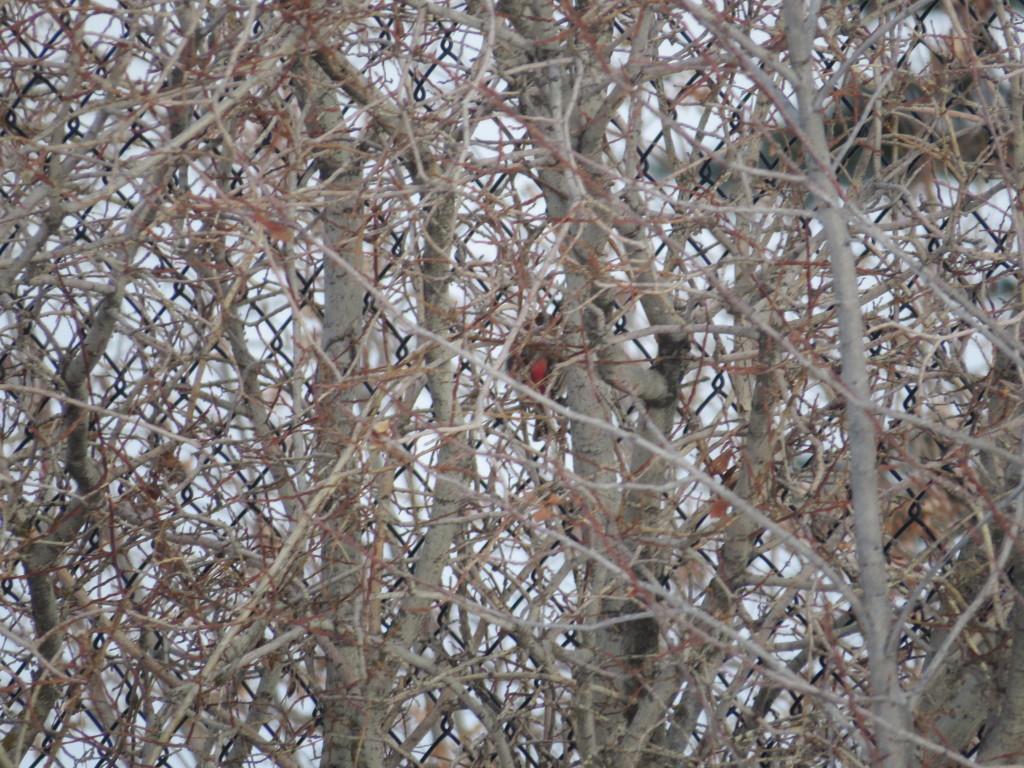 What Bird Wednesday (House Finch)