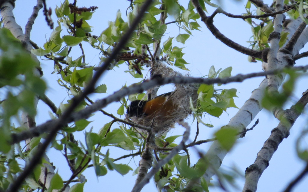 Baltimore Oriole, building it's nest, Old PP