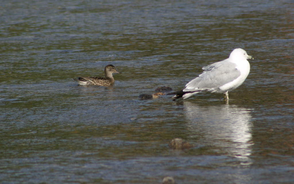 Green-winged Teal and Ring-billed Gull