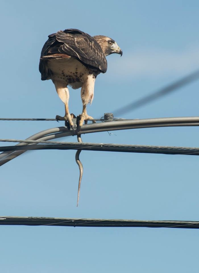Red-tailed Hawk from Dan 1