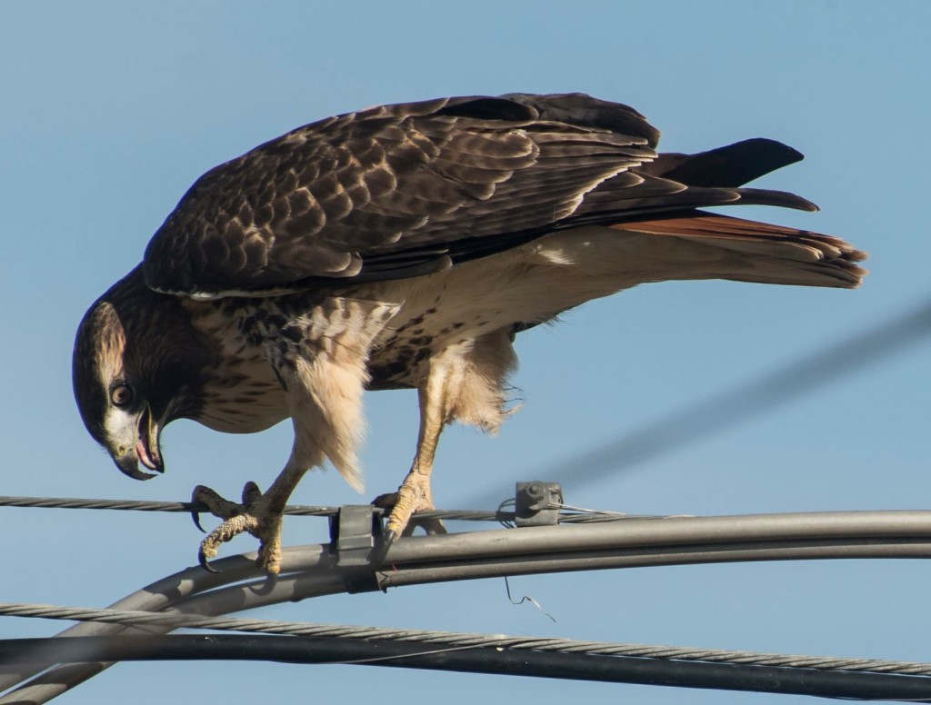 Red-tailed Hawk from Dan 2