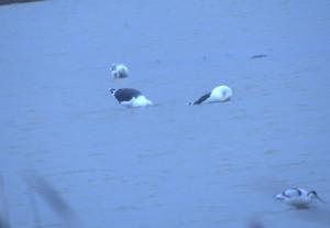 Lesser Black-Backed, Greater Black-Backed and Herring Gull