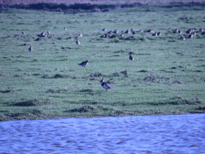 European-Golden Plover and Northern Lapwing