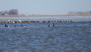 Swans, Geese, Pintail, both Widgeon.