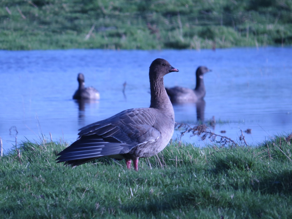 Pink-footed Goose; Brent Goose