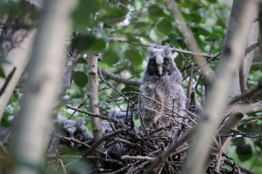 Long-eared Owlets