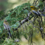 Townsend's Warblers