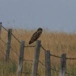 Short-eared Owlet