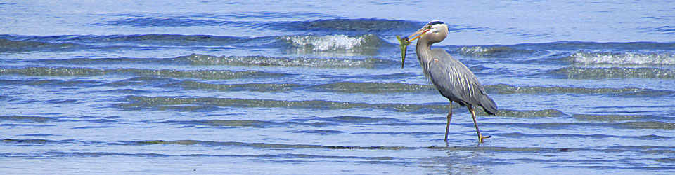 Great-Blue-Heron-banner.jpg