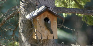 Mountain Chickadee at nest box