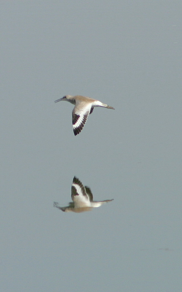 Willet in flight at Kitsim Reservoir near Brooks, AB
