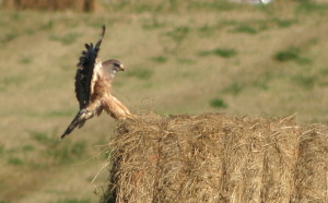 Swainson's Hawk near Weed Lake