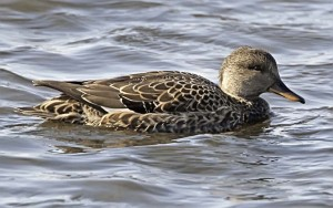 "Female Gadwall.  Photo courtesy of Hilke Breder at ""One Jackdaw Birding"""