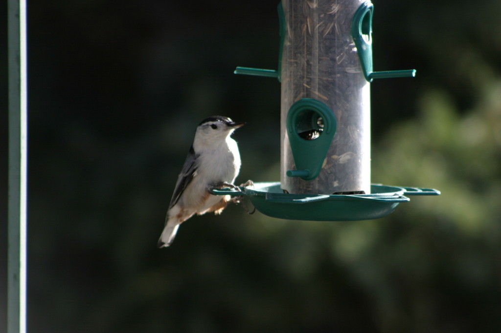 White-breasted Nuthatch at seed feeder