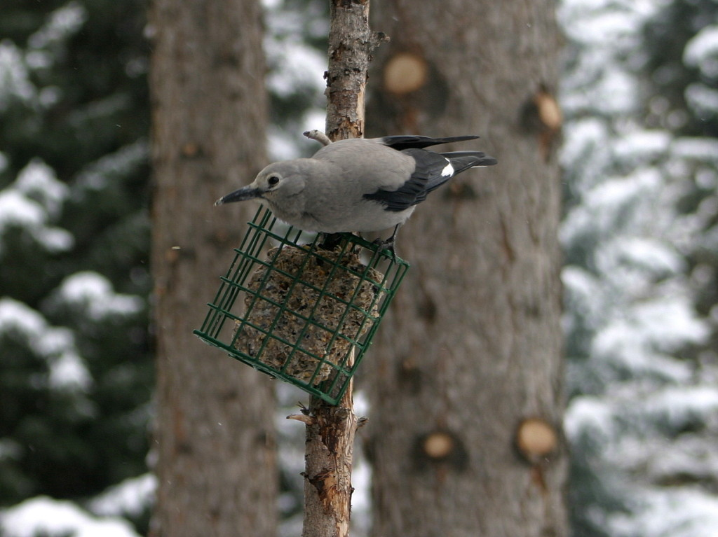 Clark's Nutcracker at suet feeder