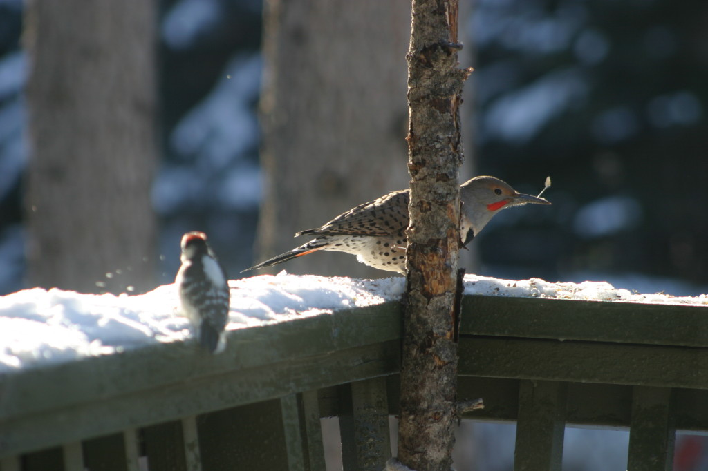 Flicker and Downy Woodpecker