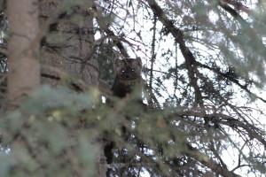 American (Pine) Marten