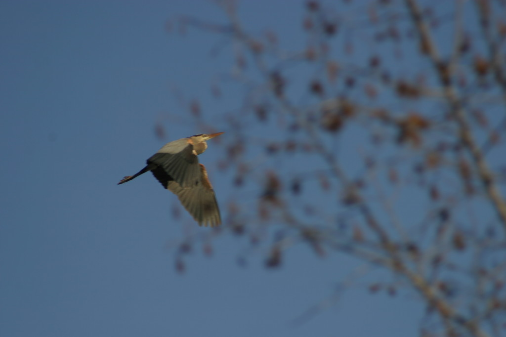 IMG_8534 - Heron Flying