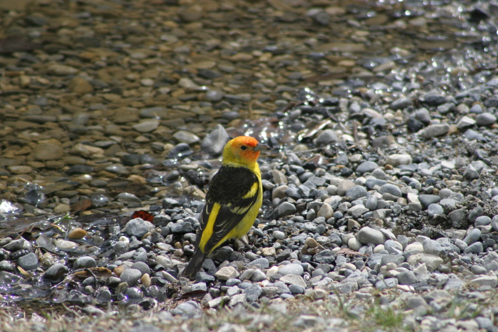 Western Tanager in Canmore!