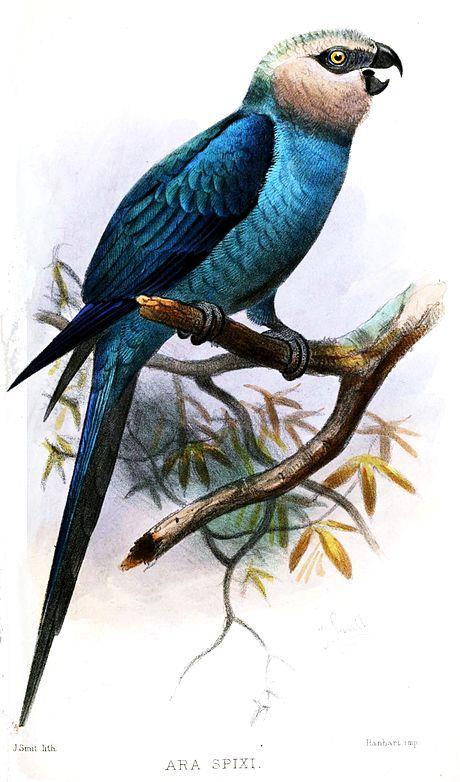 Spix Macaw (image by Joseph Smit)
