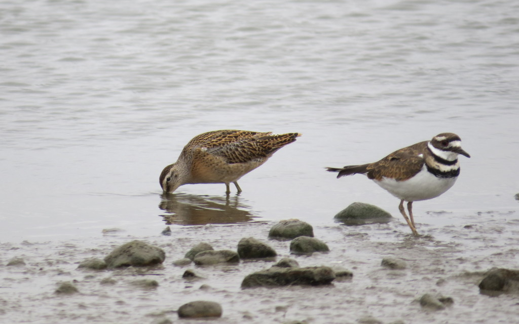 Short-billed Dowitcher and Killdeer. Weed Lake, near Calgary.