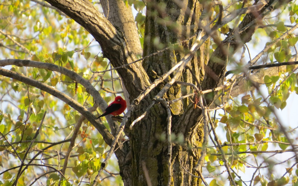 Scarlet Tanager, Old PP