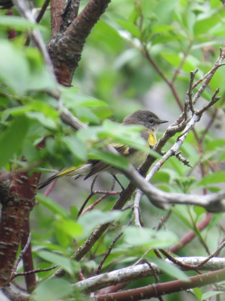 American Redstart, female