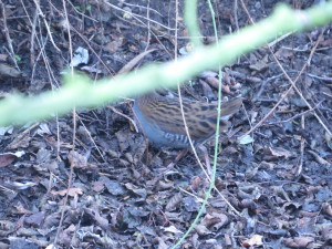 The Headless Water Rail