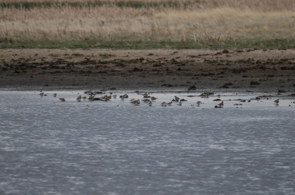 Pectoral Sandpiper, Red-necked Phalarope, Least Sandpiper, Semi-palmated Sandpiper, and Semipalmated Plover might be in there too.