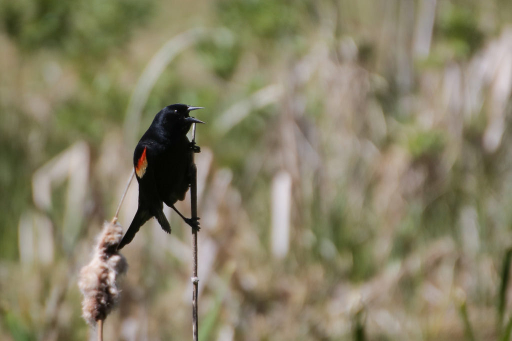 Red-winged Blckbird