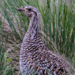 Sharp-tailed Grouse female