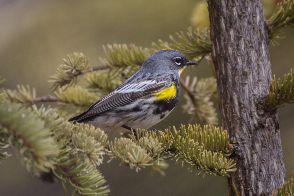 Yellow-rumped Warbler (Myrtle x Audubon's)